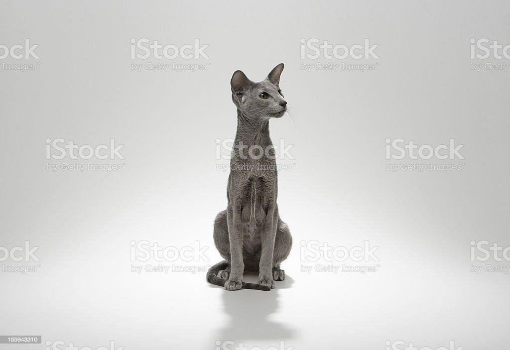 Siamese family Cats royalty-free stock photo