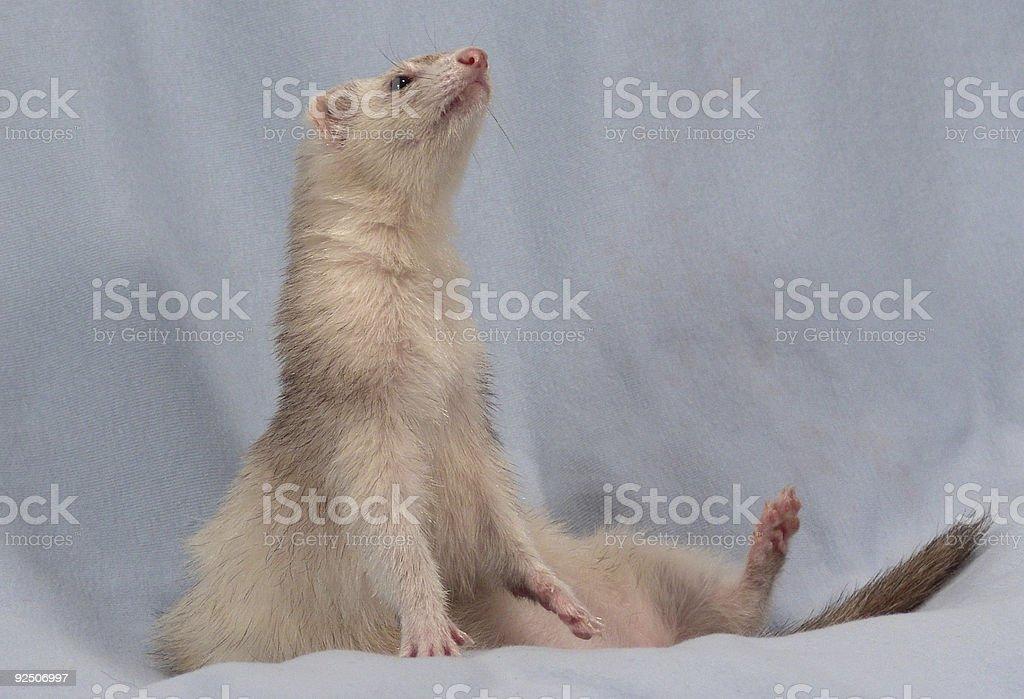 Siamese Female Ferret royalty-free stock photo