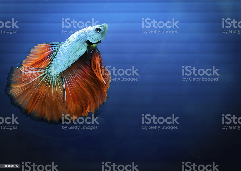 siamese fighting fish , betta isolated on blue background. stock photo
