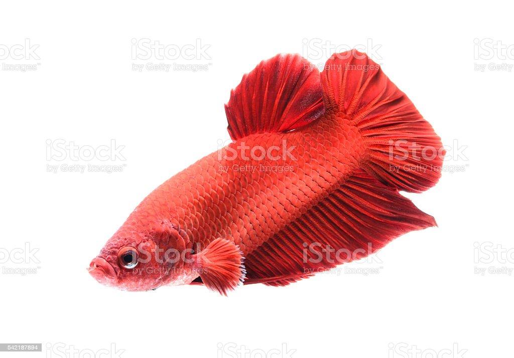 siamese fighting fish, betta splendens isolated on white backgro stock photo