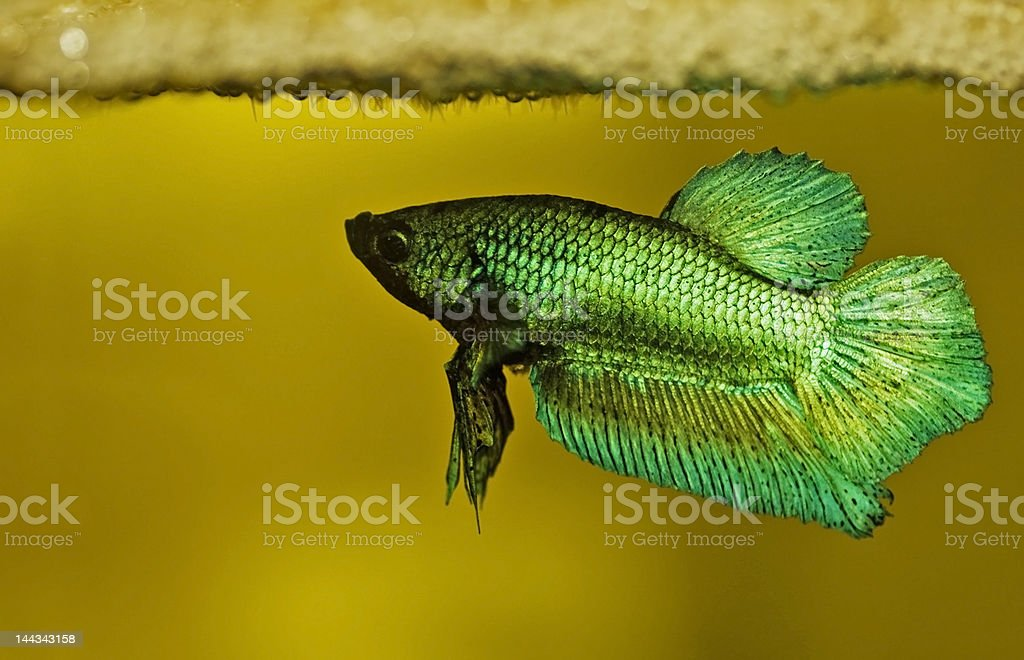 Siamese fighting fish betta splendens royalty-free stock photo