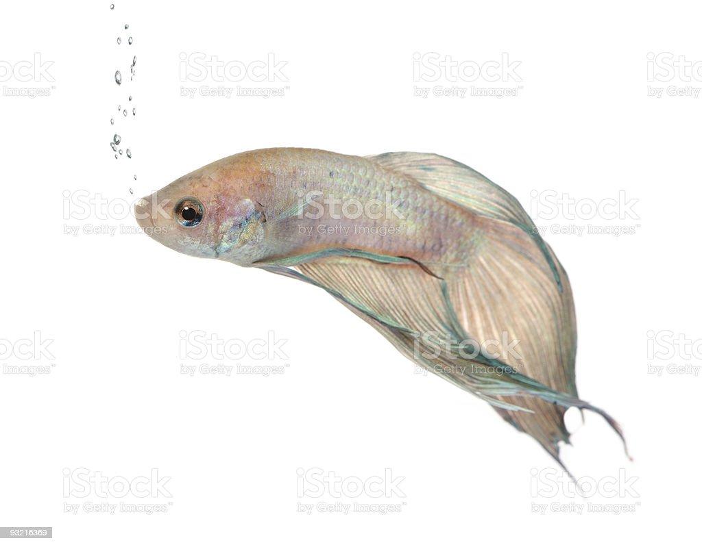Siamese fighting fish - Betta Splendens royalty-free stock photo