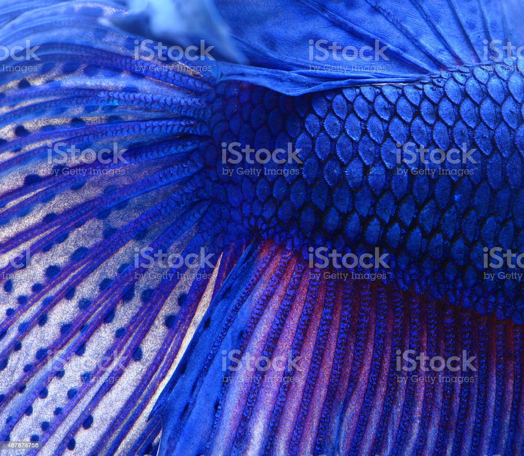 Siamese fighting fish , blue betta abstract stock photo