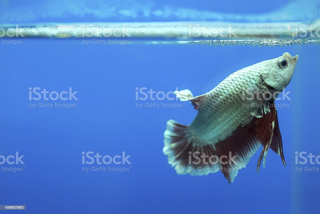 Siamese fighting fish in the aquarium. royalty-free stock photo