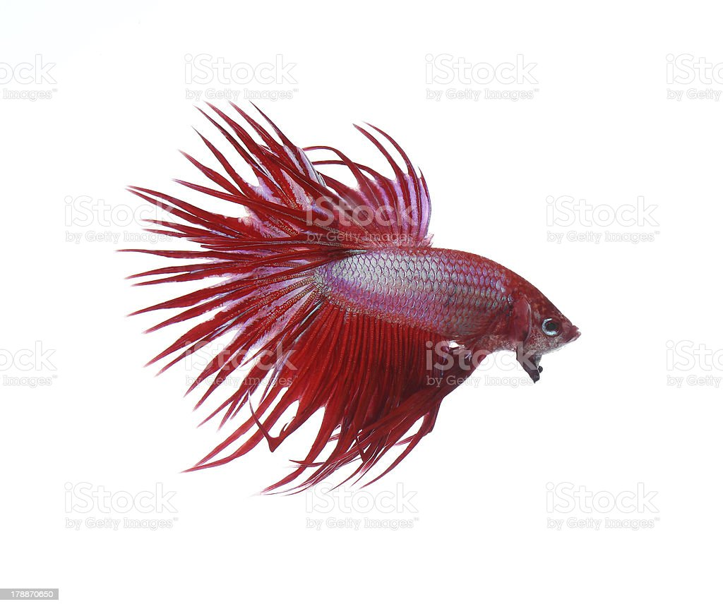 Siamese fighting fish isolated on white background, Crown Tail royalty-free stock photo