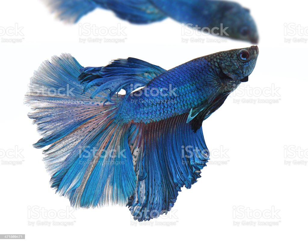 Siamese fighting fish isolated on white background, Half Moon royalty-free stock photo