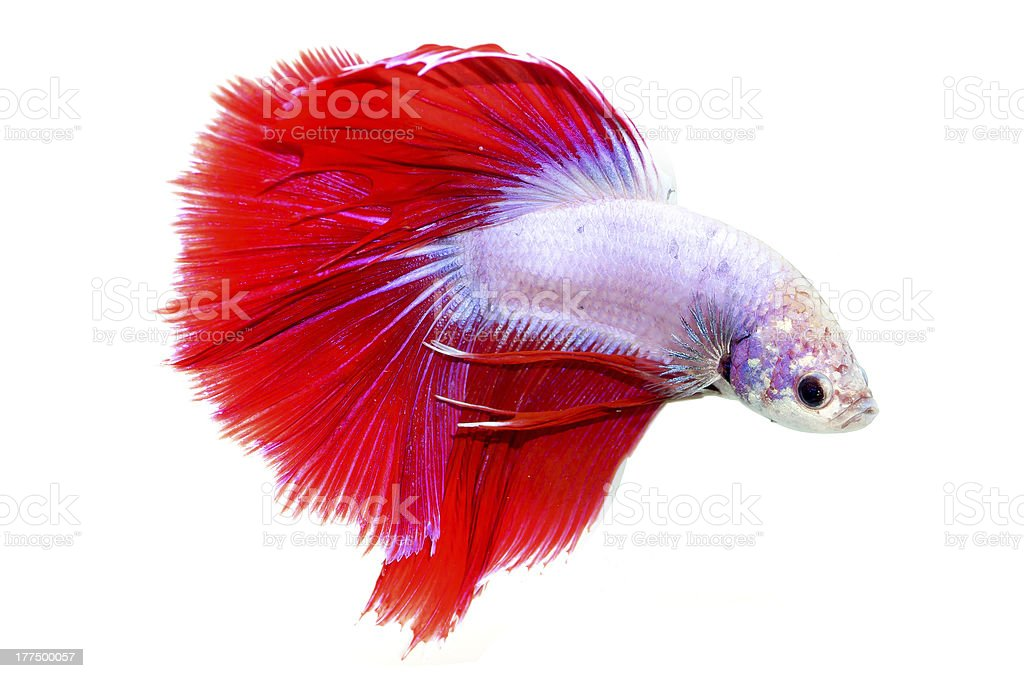 siamese fighting fish isolated on white background royalty-free stock photo