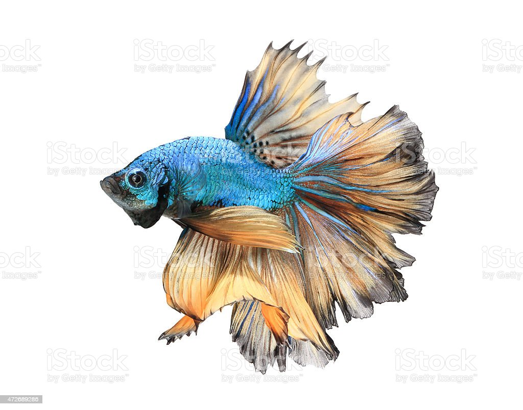 Siamese fighting fish, isolated on white background. stock photo