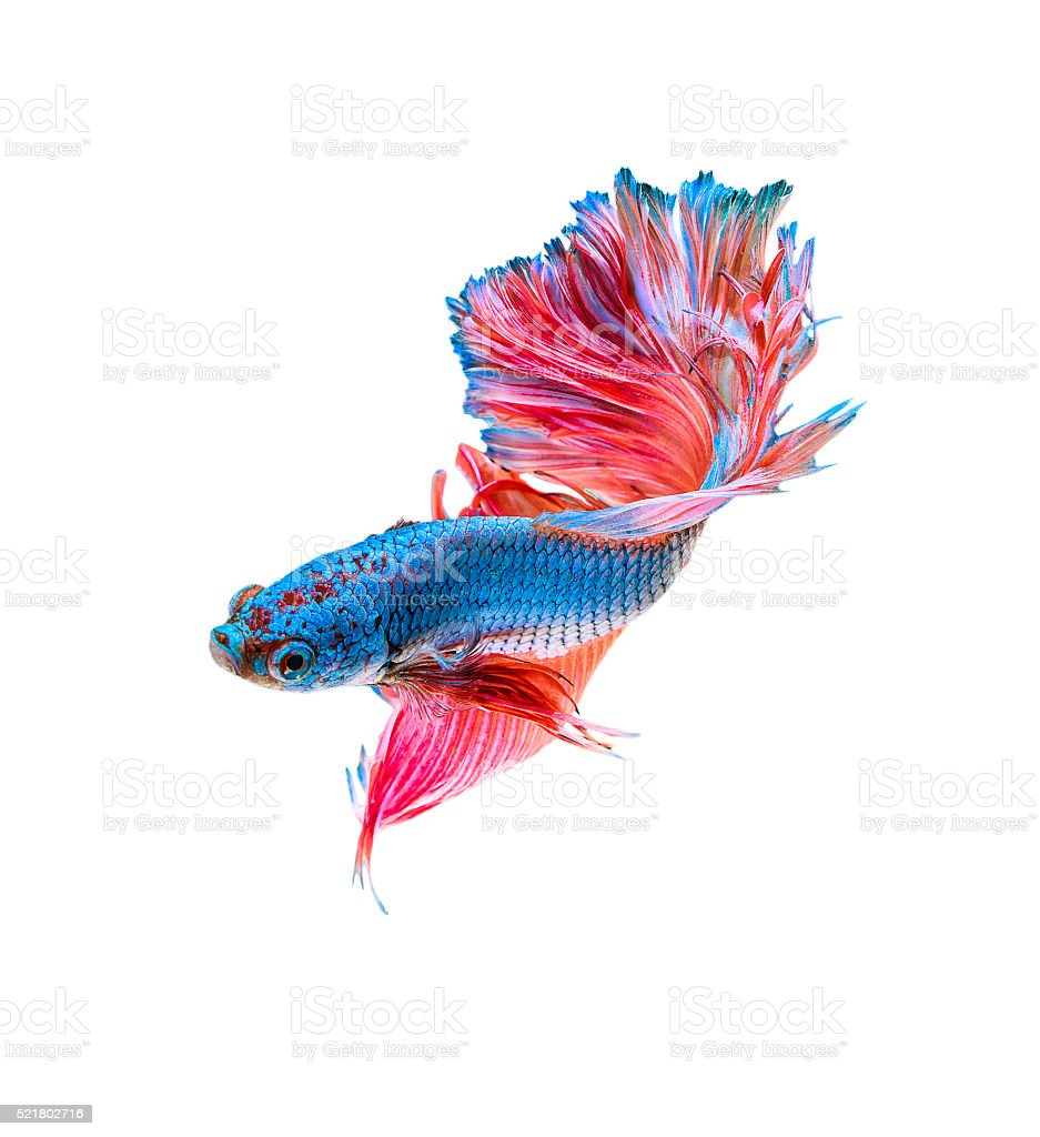 Siamese fighting fish isolated stock photo