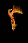 Siamese fighting fish on black background