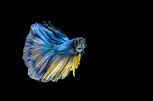 Siamese fighting fish or Betta fish isolated on black background.