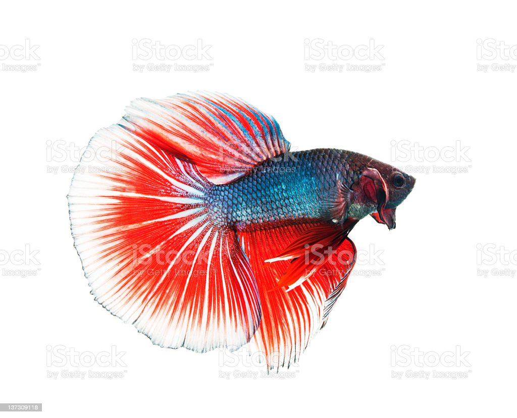 Siamese Fighting fish royalty-free stock photo