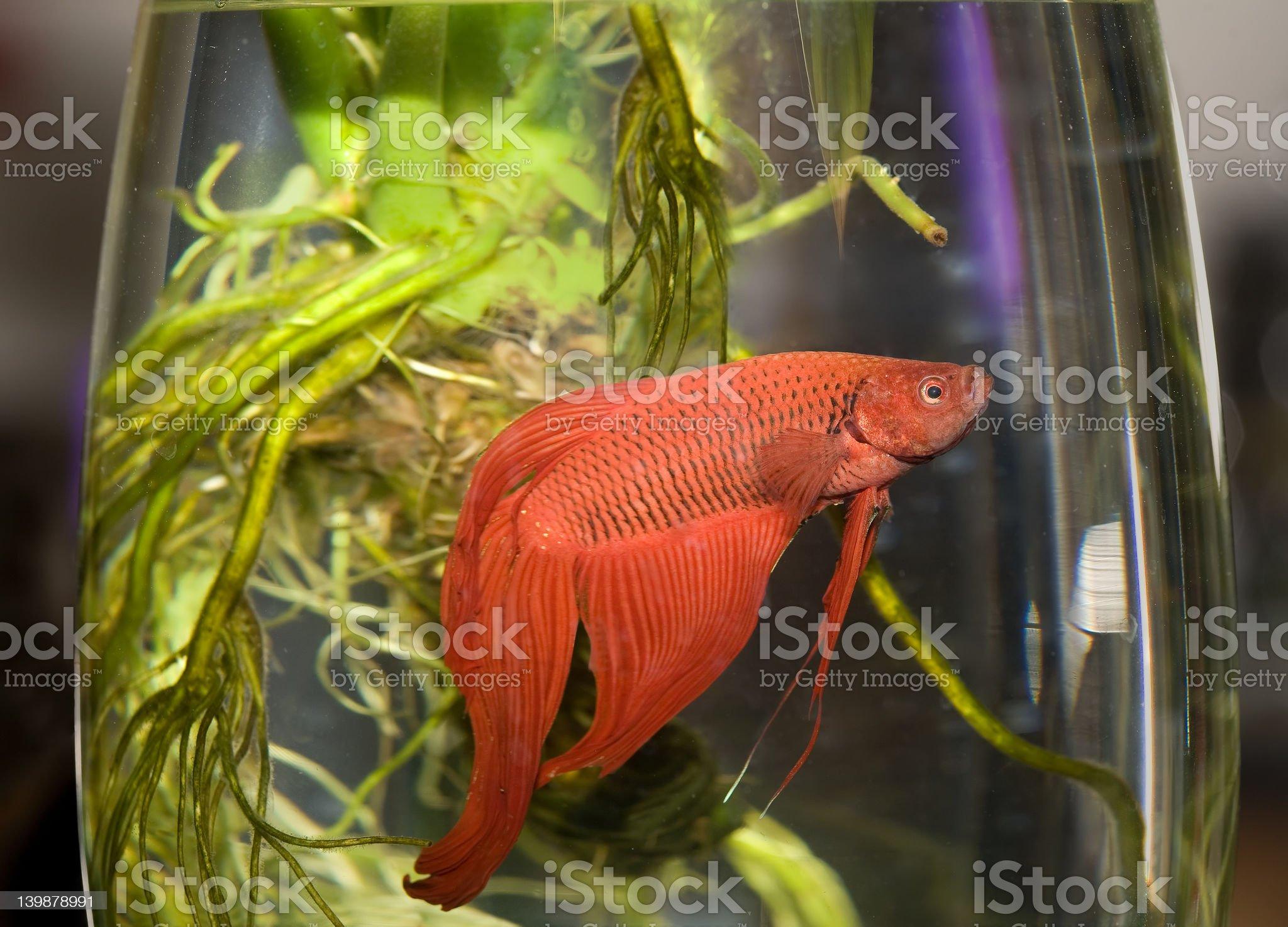 Siamese fighting fish (Betta splendens) royalty-free stock photo