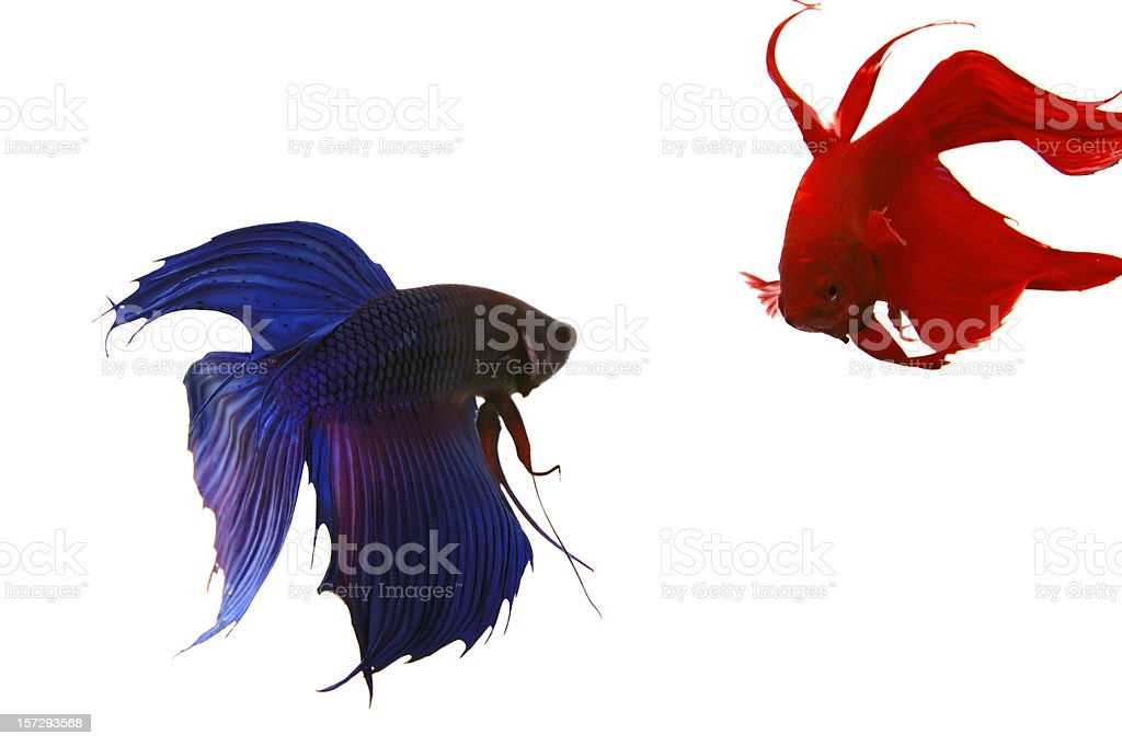 Siamese Fighting Fishes stock photo