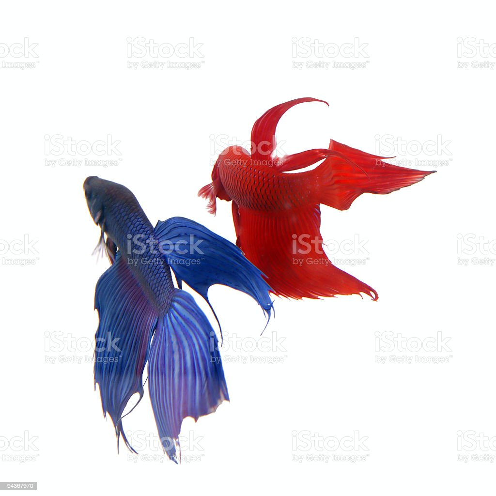 Siamese Fighting Fishes royalty-free stock photo