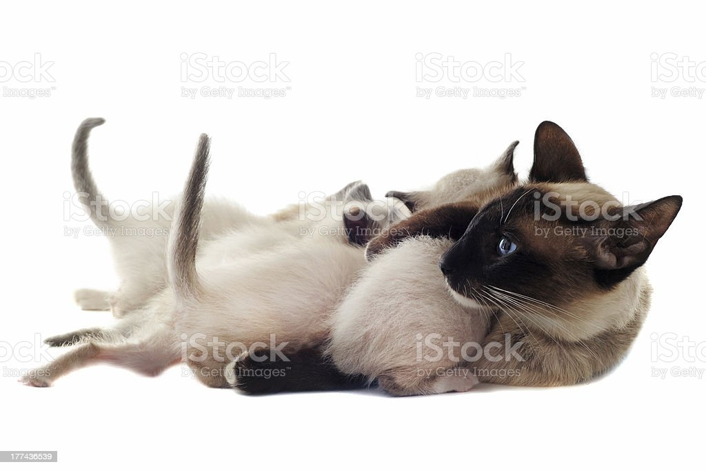 Siamese kitten and mother royalty-free stock photo
