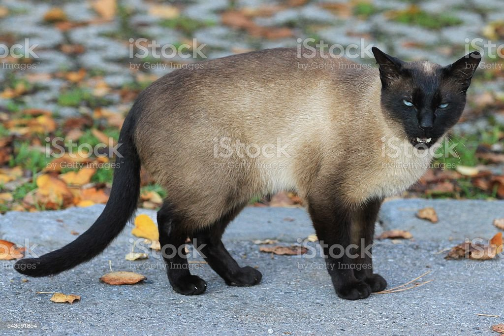 Siamese seal point cat on morning ramble stock photo