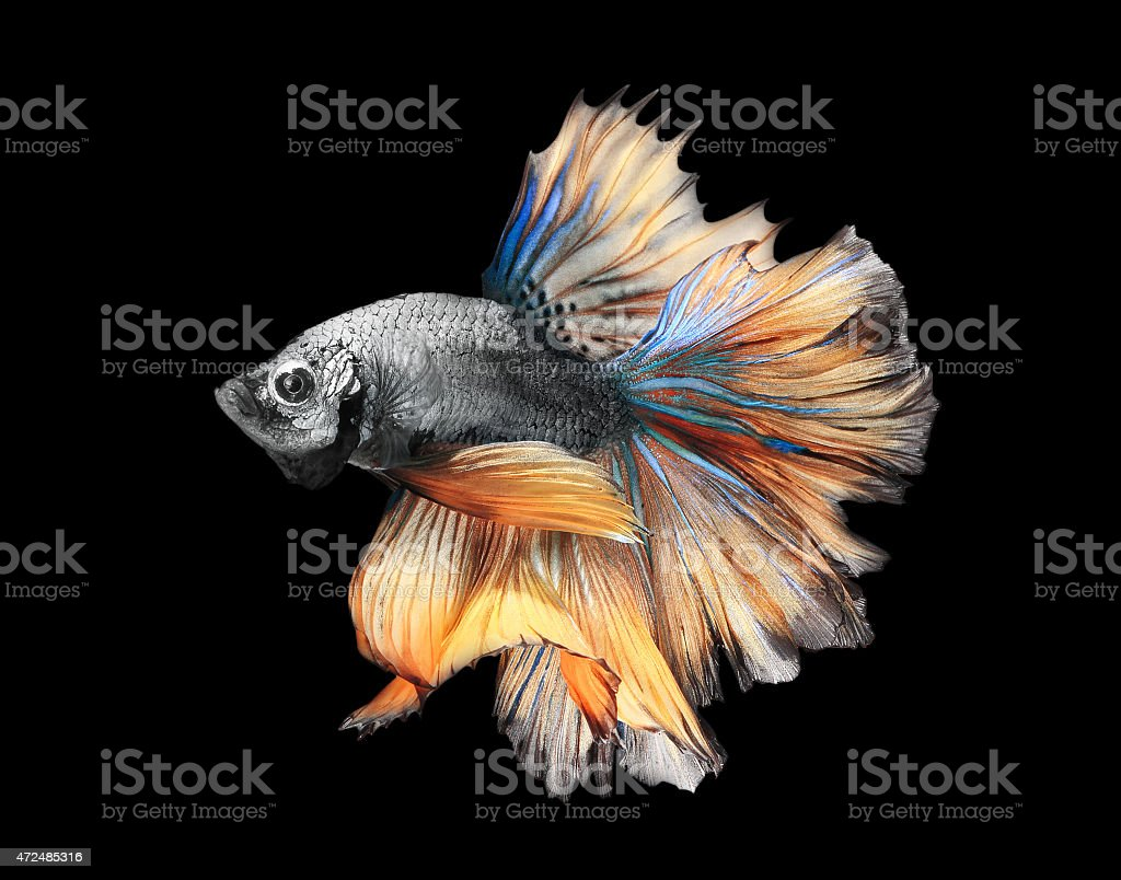 Siamess fighting fish,colorful half moon type. stock photo