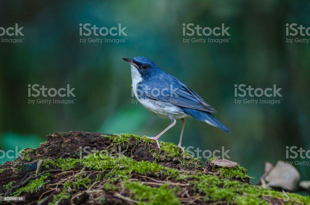 Siberian blue robin (Luscinia cyane) stock photo