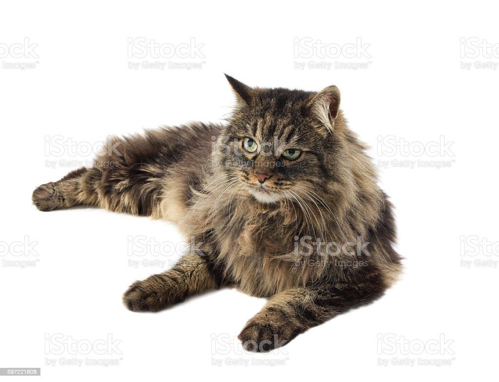 siberian cat isolated on white background stock photo