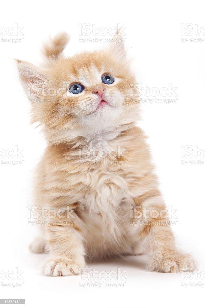 Siberian cat isolated on white royalty-free stock photo