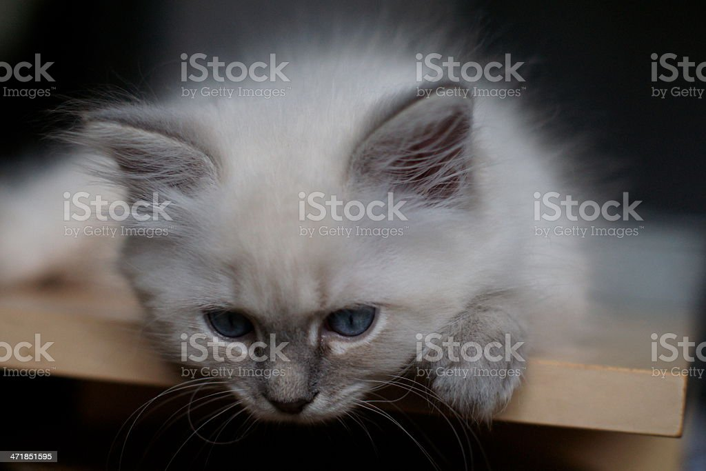 Siberian Cat Neva Masquerade Hunting royalty-free stock photo