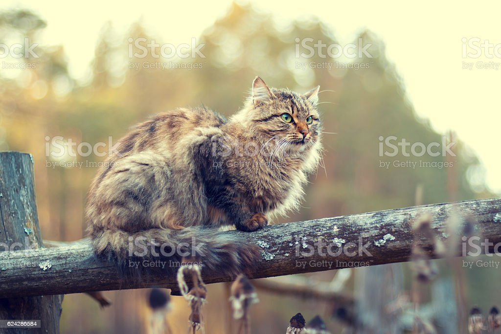 Siberian cat sitting on a wooden fence stock photo