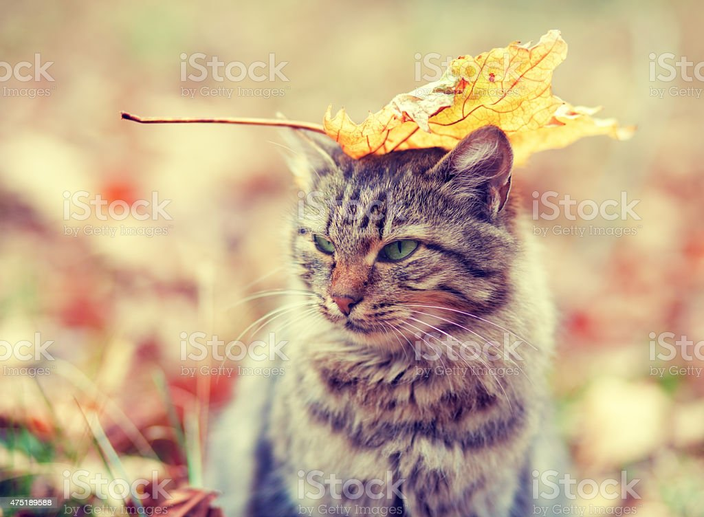Siberian cat with a leaf on head stock photo