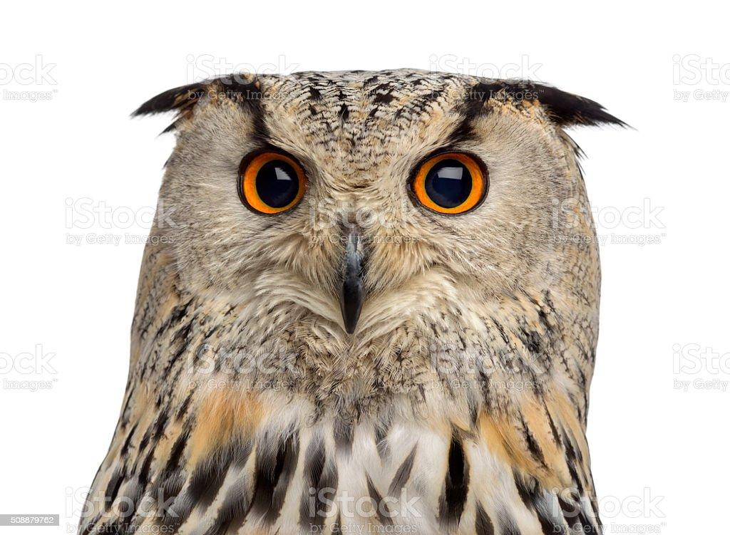 Siberian Eagle Owl - Bubo bubo (3 years old) stock photo