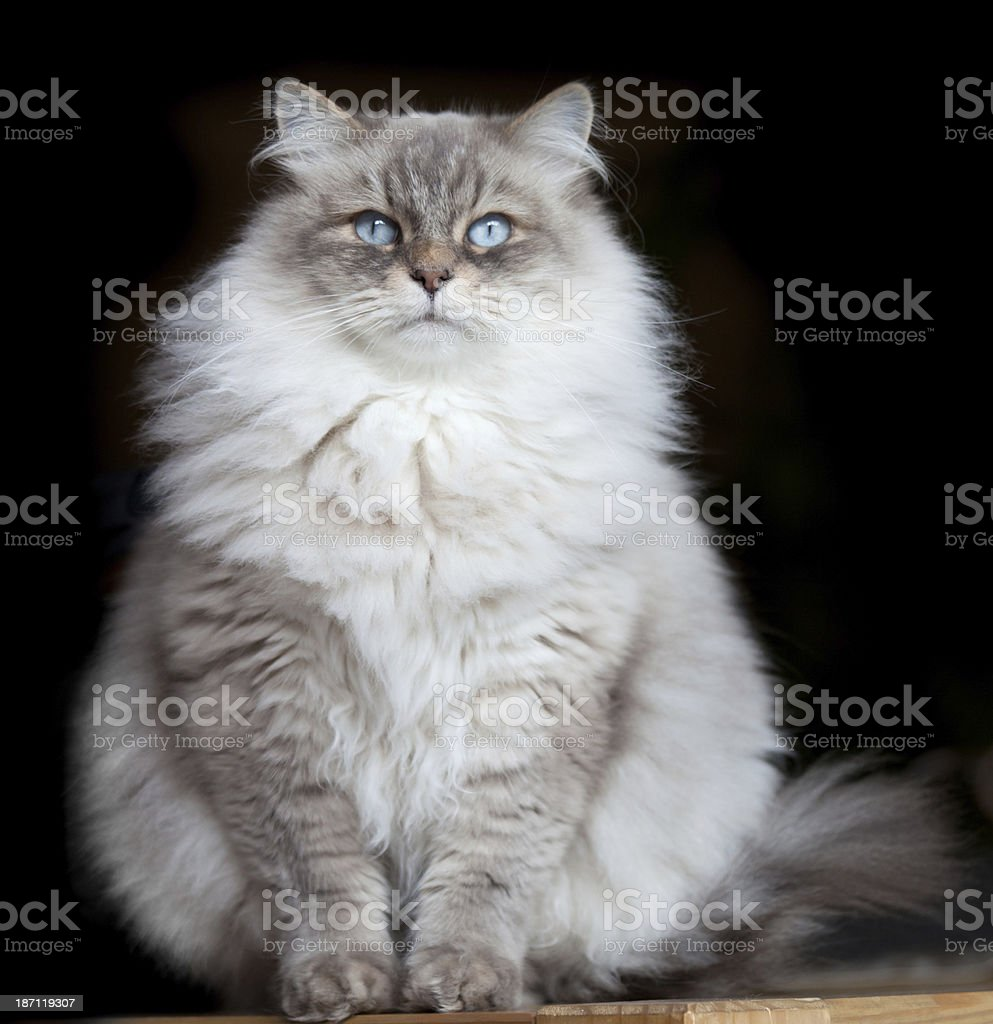 sibirian forest cat stock photo