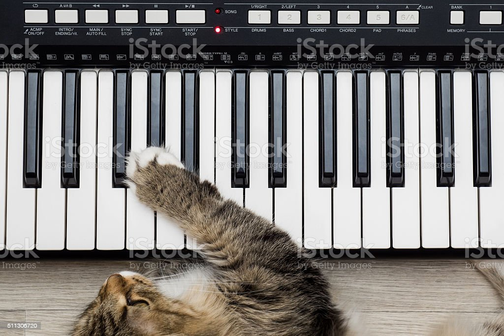 Siberian Forest Cat playing MIDI controller keyboard synthesizer stock photo