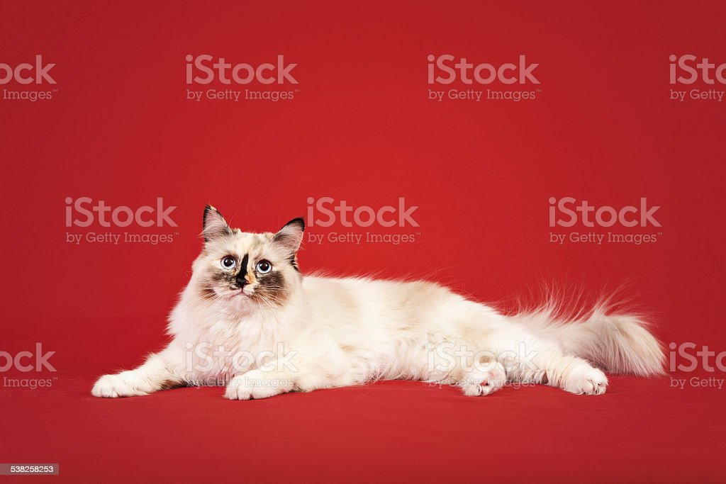 Siberian forest kitten on red background stock photo