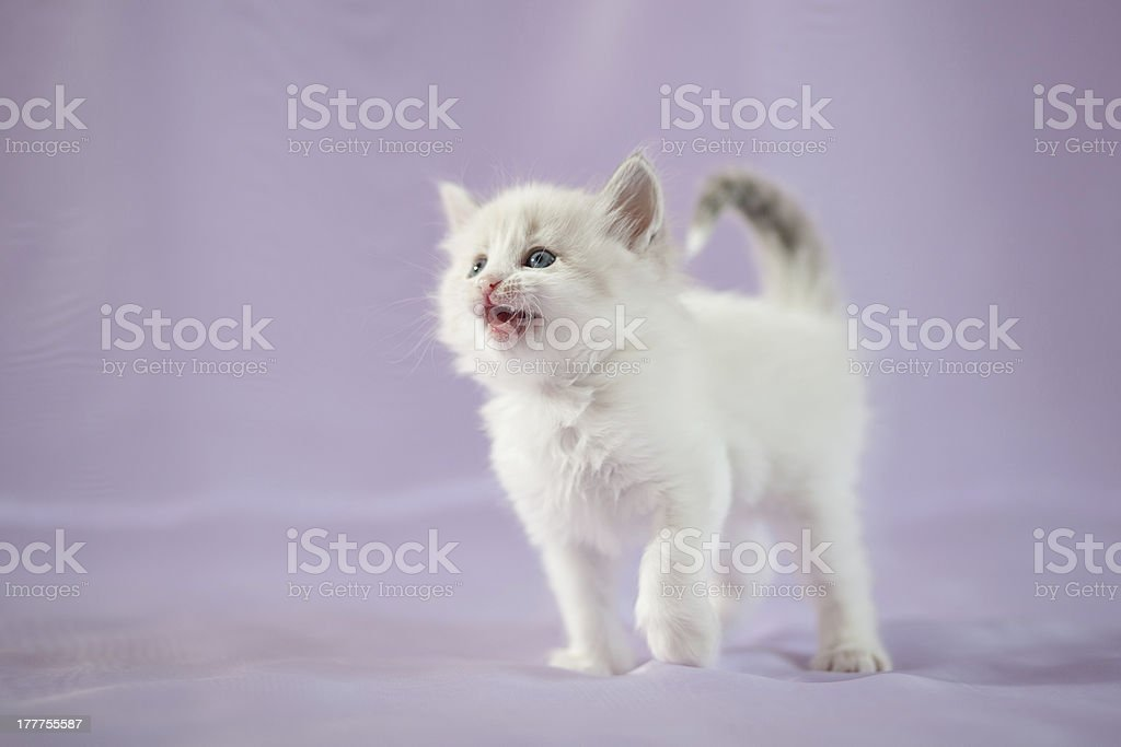 Siberian forest kitten royalty-free stock photo