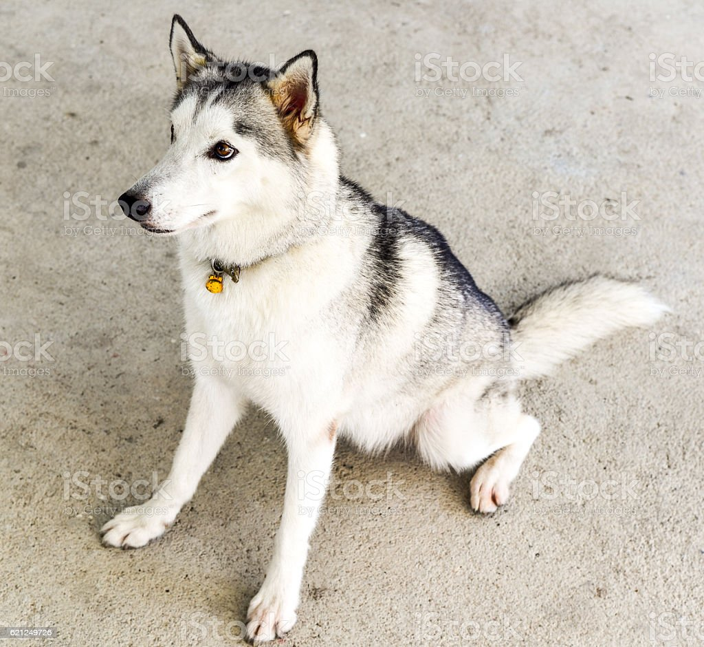 siberian husky breed of dog grey color stock photo 621249726 istock