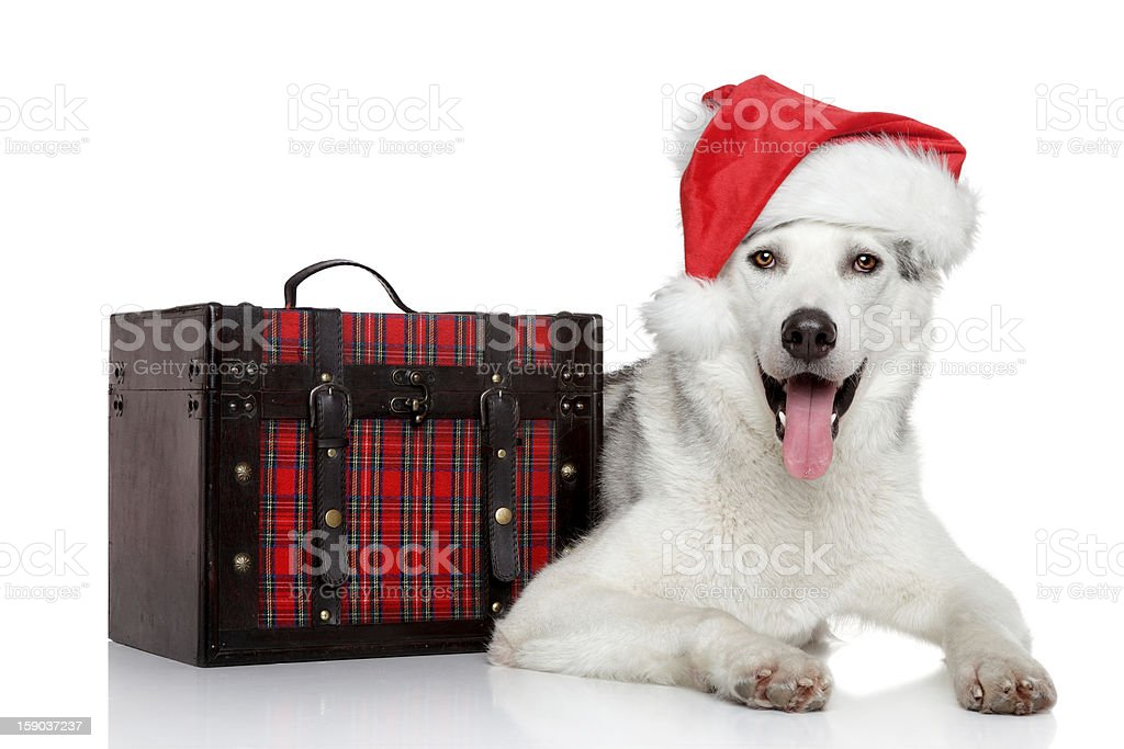 Siberian husky dog in Santa red hat royalty-free stock photo