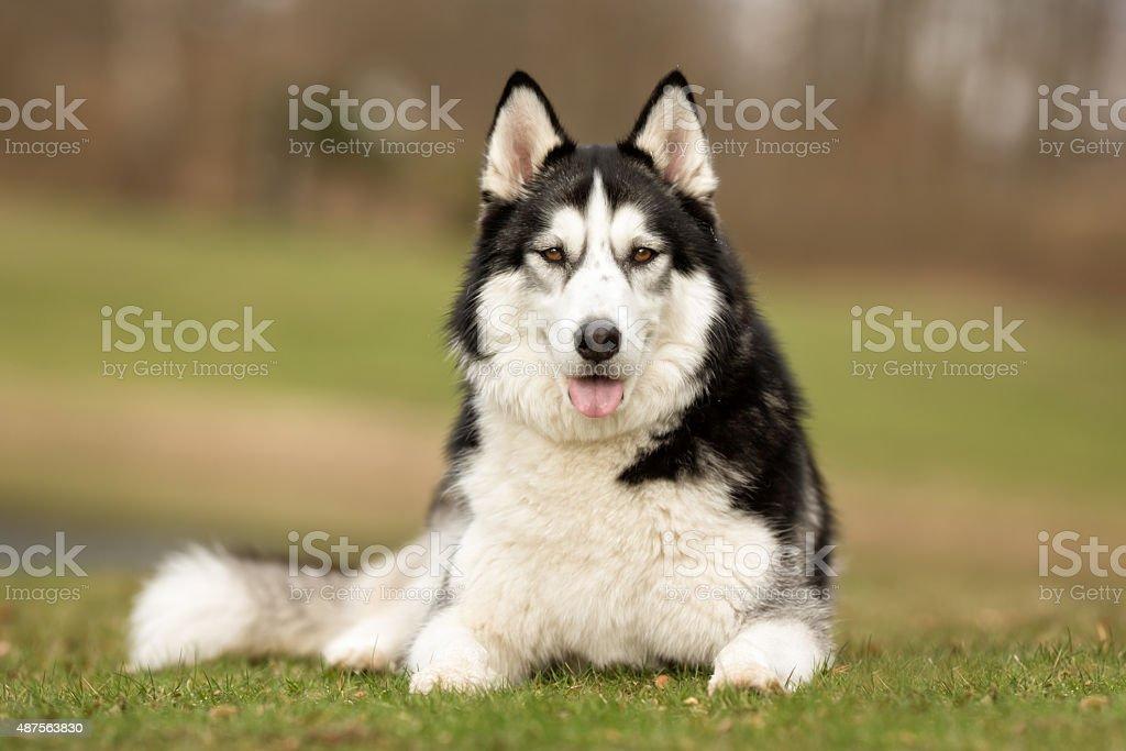 Siberian Husky dog outdoors in nature stock photo