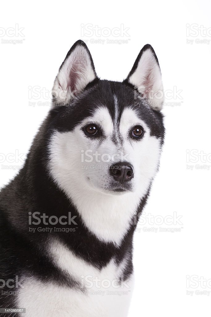Sibirischer husky Hund Lizenzfreies stock-foto