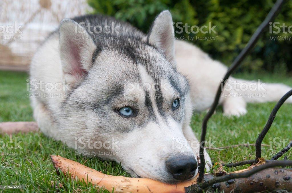Siberian husky dog with blue eyes stock photo