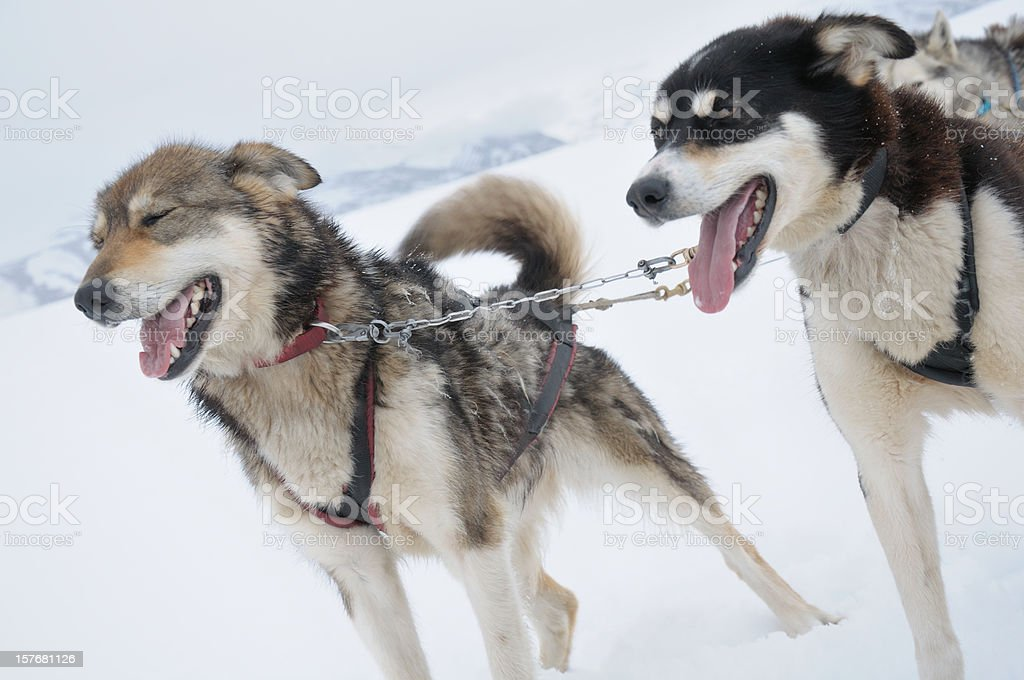 Siberian Husky Dogsledding in winter royalty-free stock photo