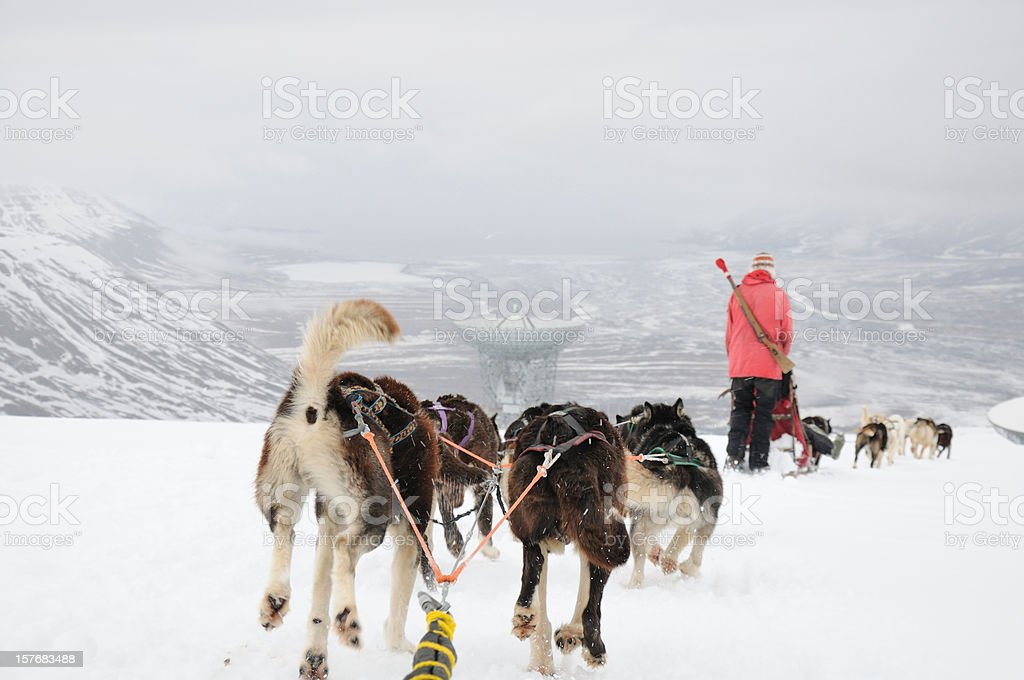 Siberian Husky Dogsledding in winter stock photo