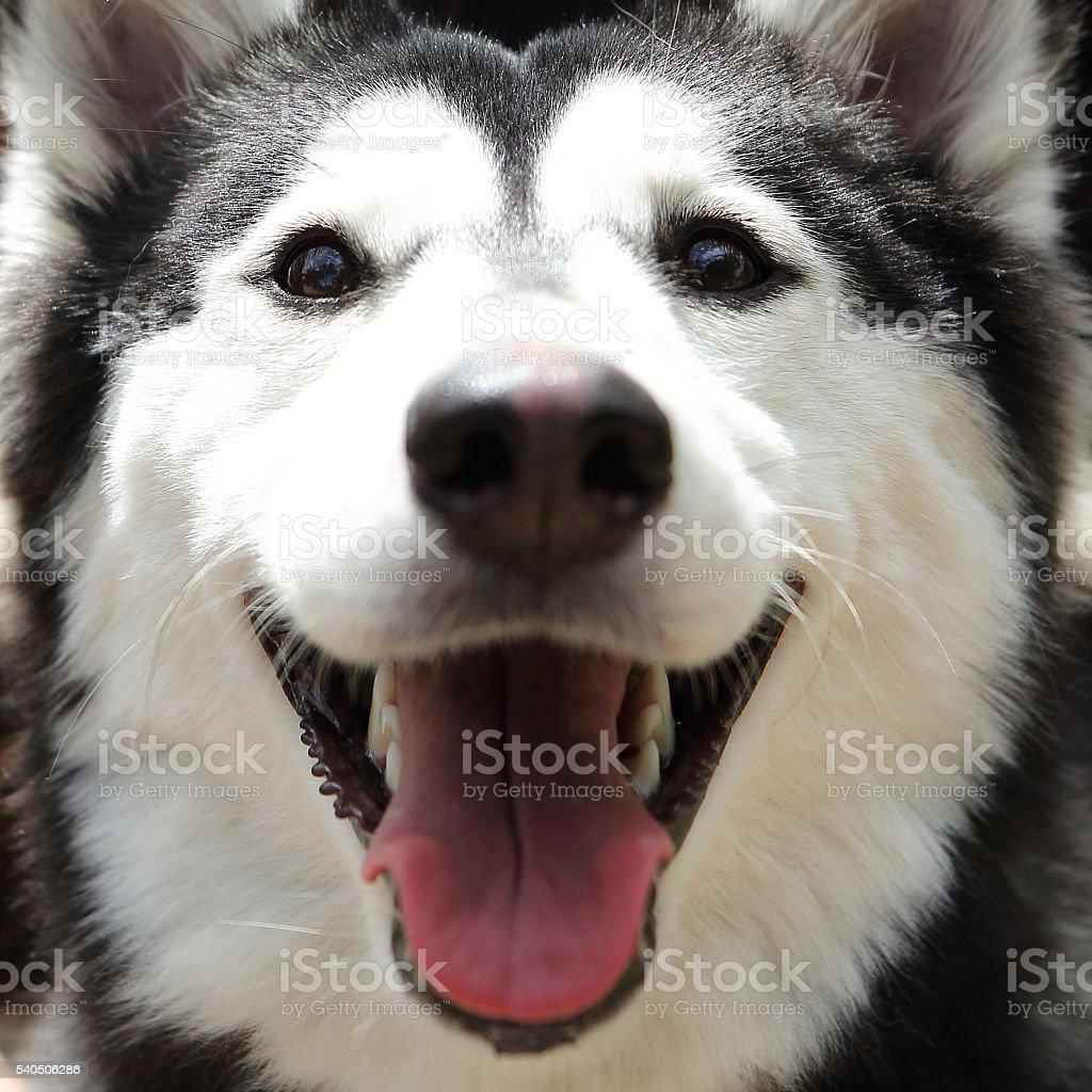 Siberian Husky Extreme Close-up stock photo