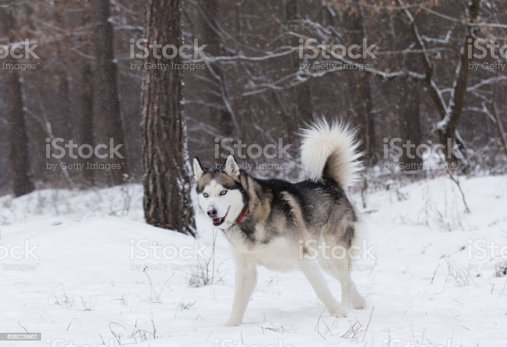 Siberian Husky frolics in the winter forest. stock photo