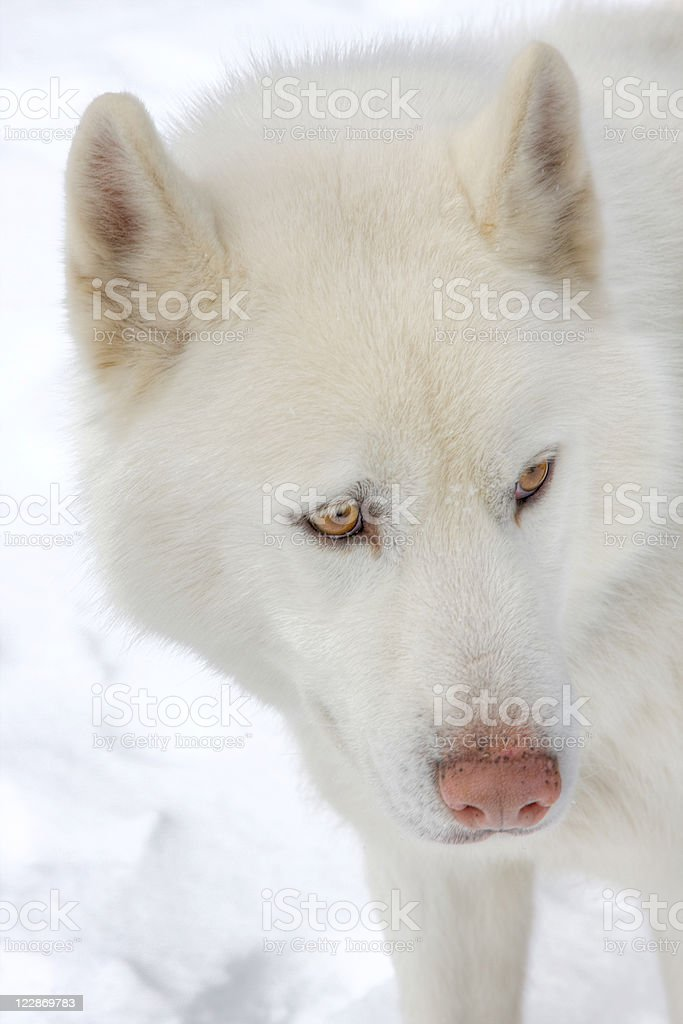 Siberian Husky In The Snow royalty-free stock photo