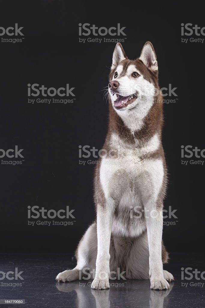 Sibirischer husky auf schwarzem Hintergrund Lizenzfreies stock-foto