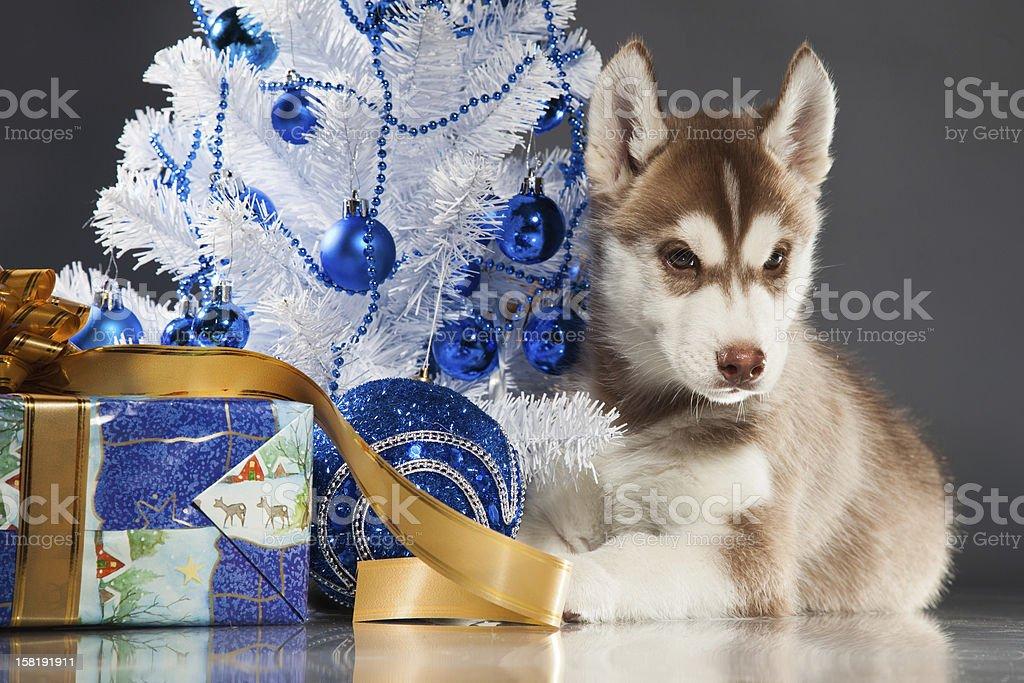 Sibirischer husky Lizenzfreies stock-foto