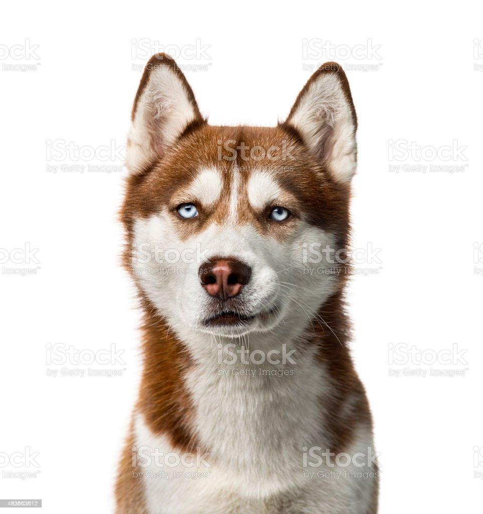 Siberian Husky (2 years old) stock photo
