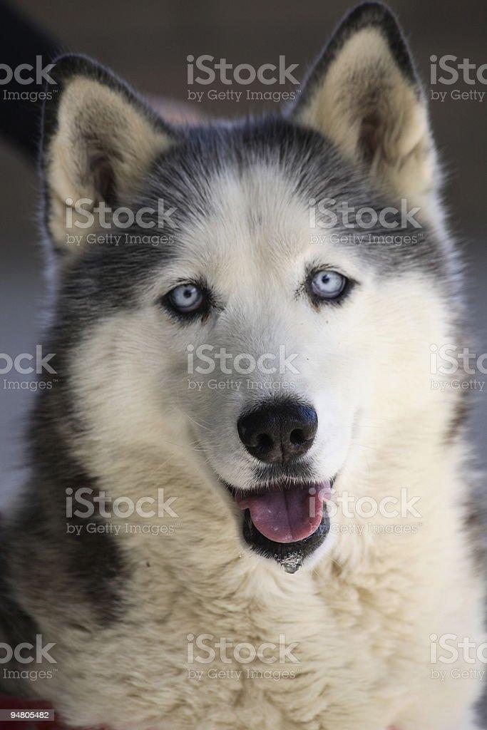 siberian husky royalty-free stock photo