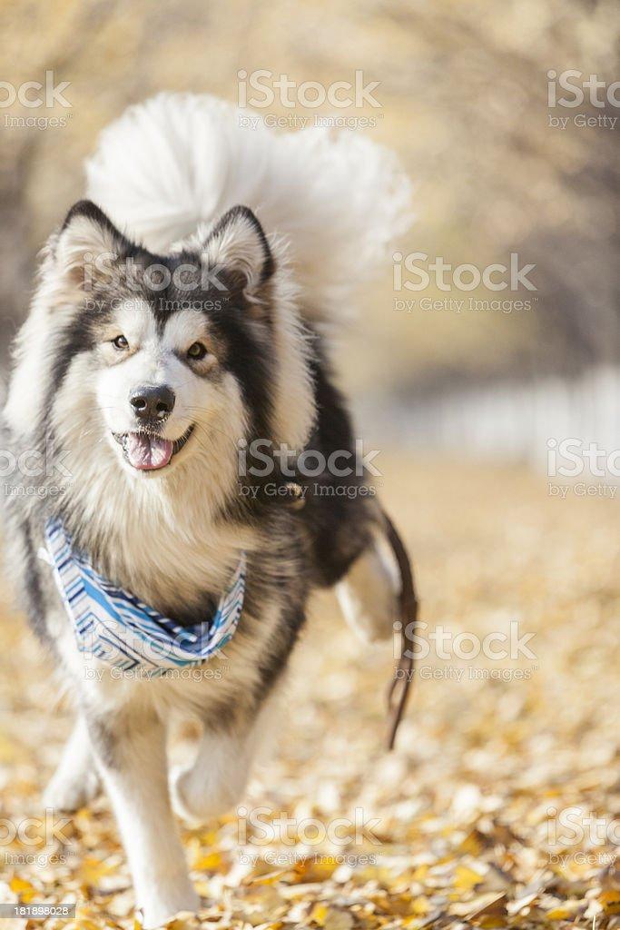 Siberian Husky Playing outdoor royalty-free stock photo