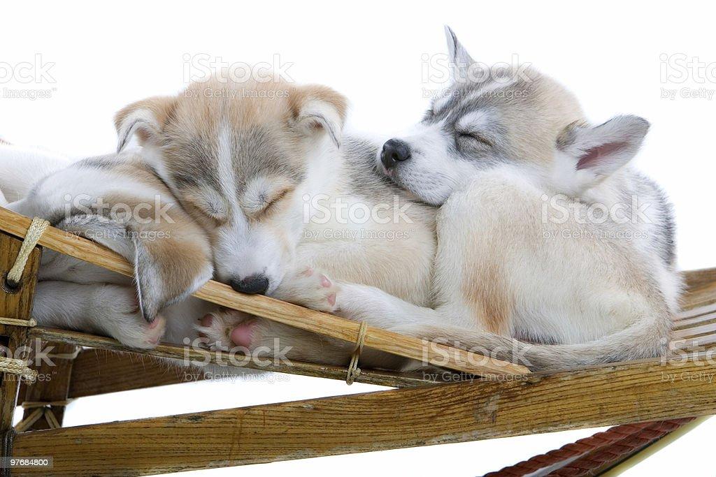 Siberian husky puppies royalty-free stock photo