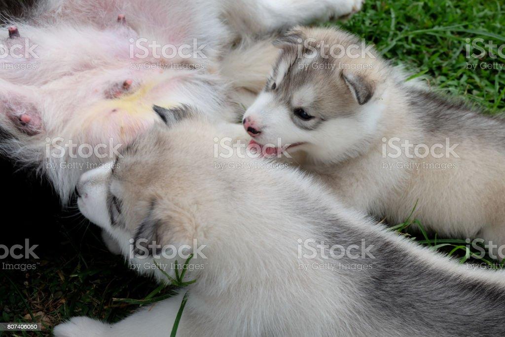 Siberian husky puppy close up on background . stock photo